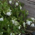 Epimedium diphyllum 'Nana'
