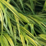 Hakonechloa macra 'Aureola', photo by Richie Steffen, 2003