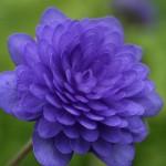 Hepatica nobilis 'Brun'
