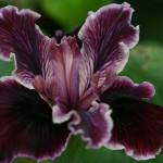 Iris PCH 'Mantra'