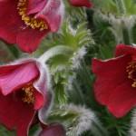 Pulsatilla vulgaris var. rubra
