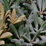 Rhododendron degronianum ss. yakushimanum 'Exbury Form'