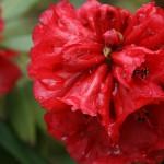Rhododendron ochraceum