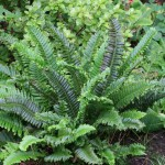Polystichum munitum (Cristatum Group) 'Sword Play'