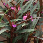 Roscoea hybrids from Ashwood, UK