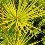 Sciadopitys verticillata 'Aurea'
