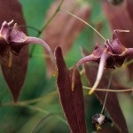 Epimedium x omeiense 'Storm Cloud'