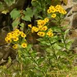 Helenium autumnale 'Tijuana Brass'