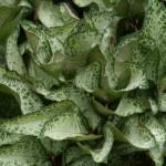 Helleborus x ericsmithii 'Winter Moonbeam' from Northwest Garden Nursery, OR