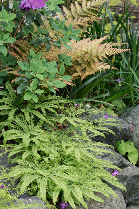 Ferns at the Miller Garden